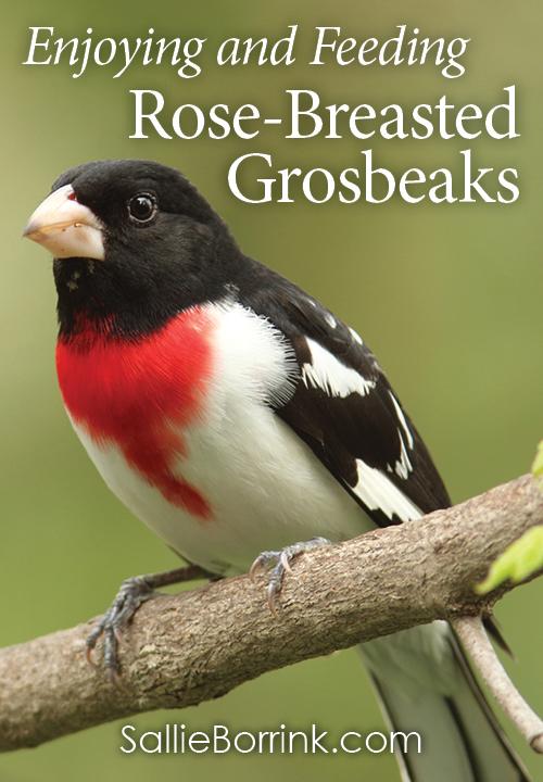Enjoying and Feeding Rose-Breasted Grosbeaks