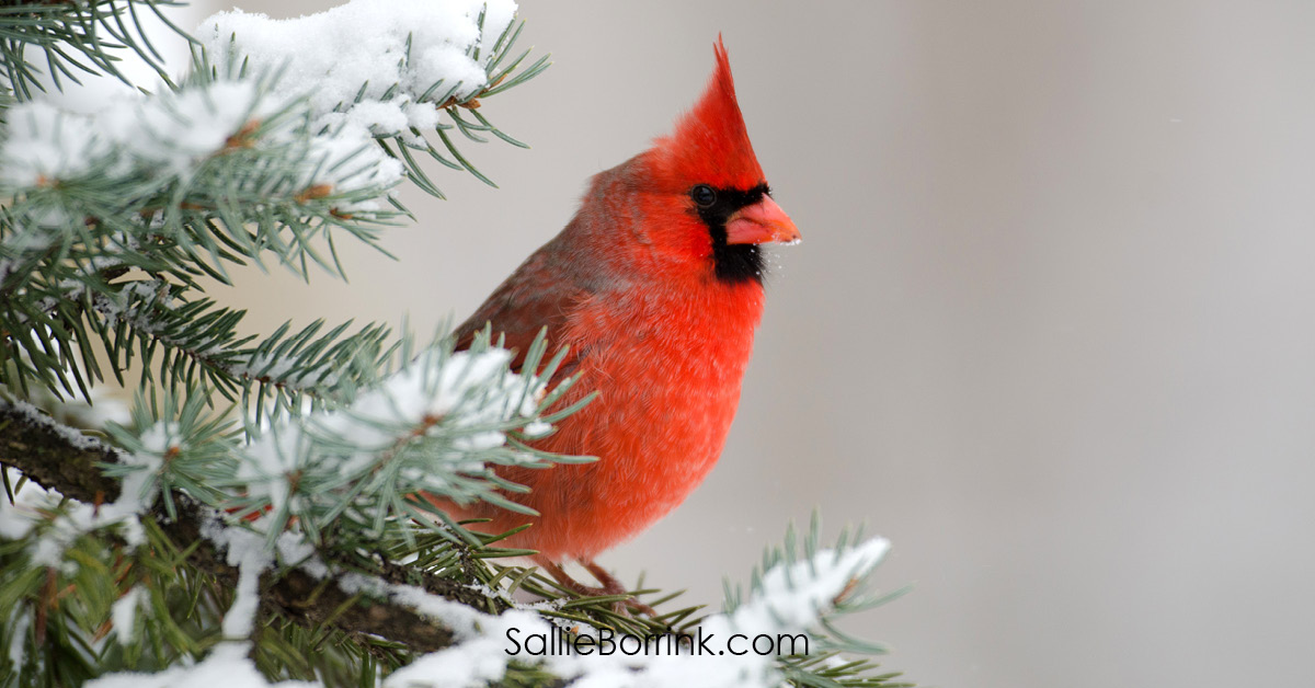 Northern Cardinal in Winter Cozy Living in America