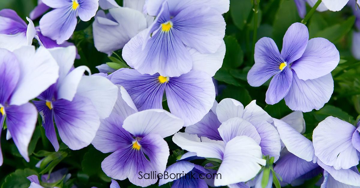 Purple Pansy Flowers - Encouraging a Homeschool Mom