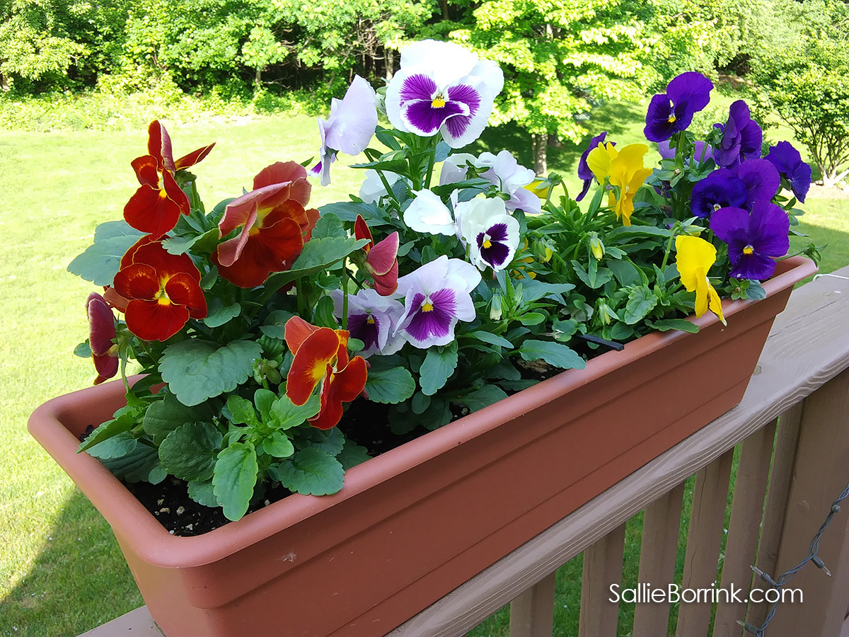 Colorful Pansies on the Deck in Planters