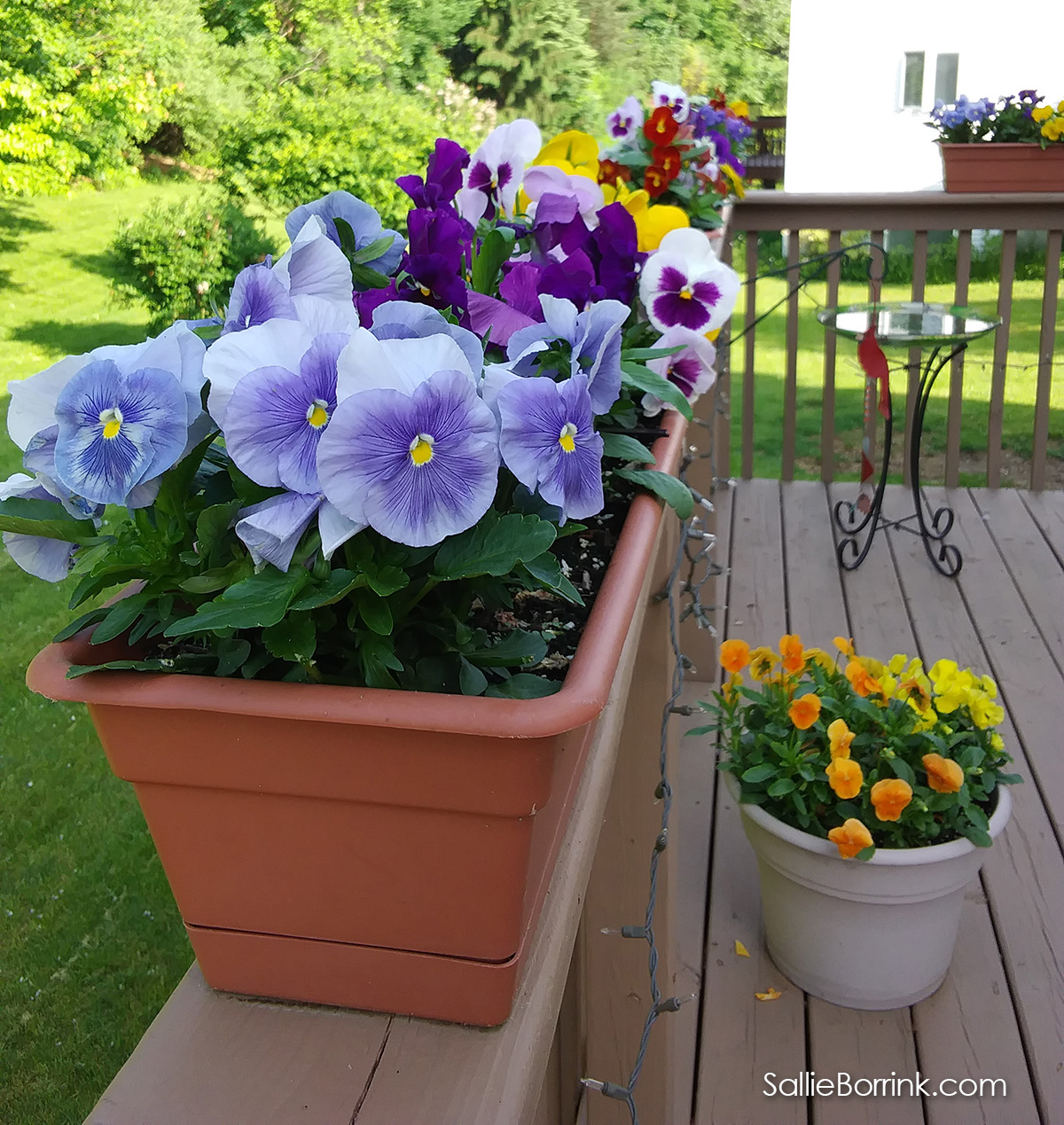 Colorful Pansies in Pots and Planters on the Deck