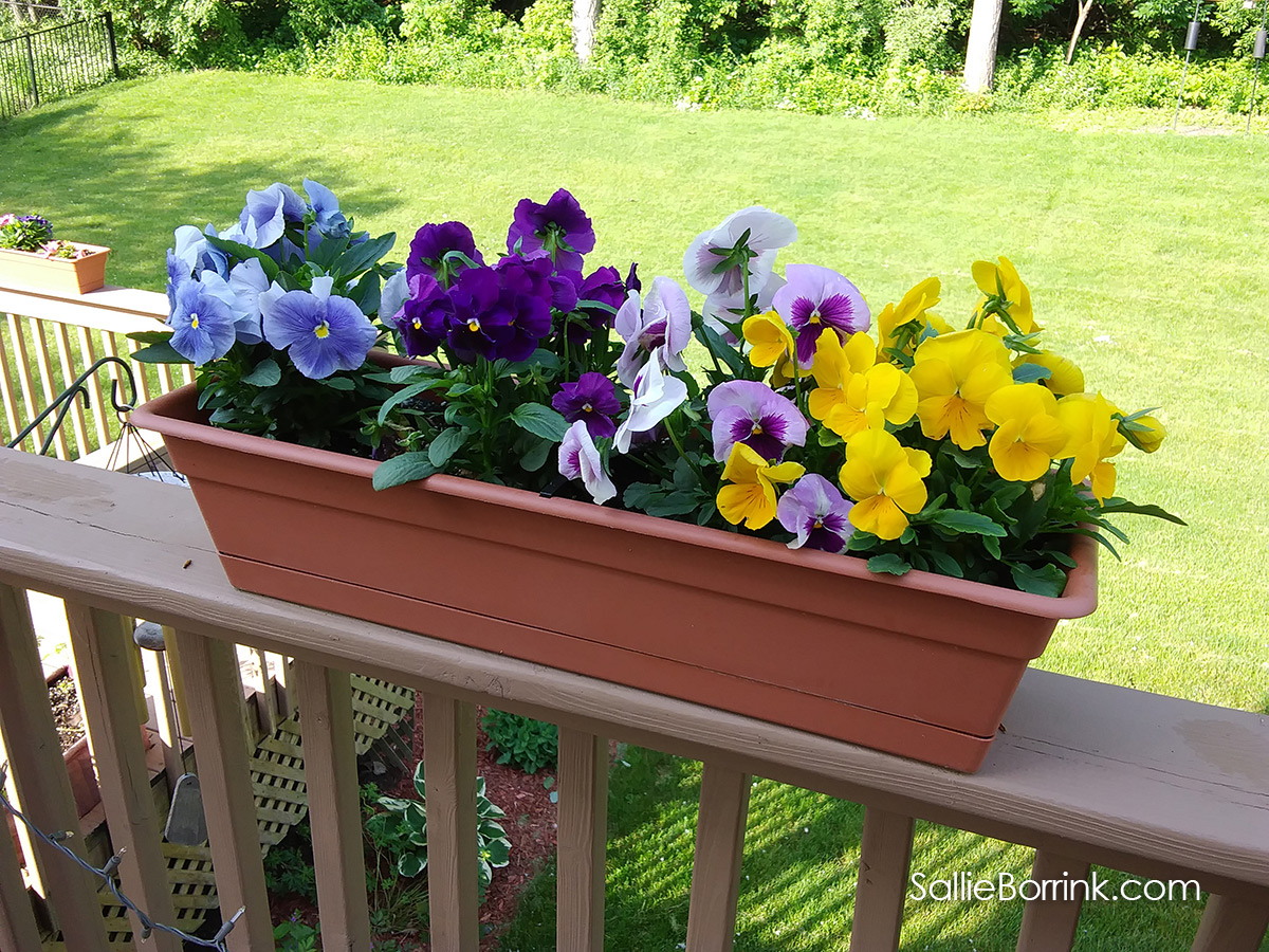 Colorful Pansies on the Deck in Planters 2