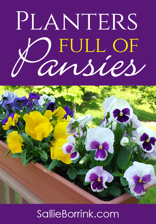 How to Grow Pansies and Have Planters Full of Pansies 3