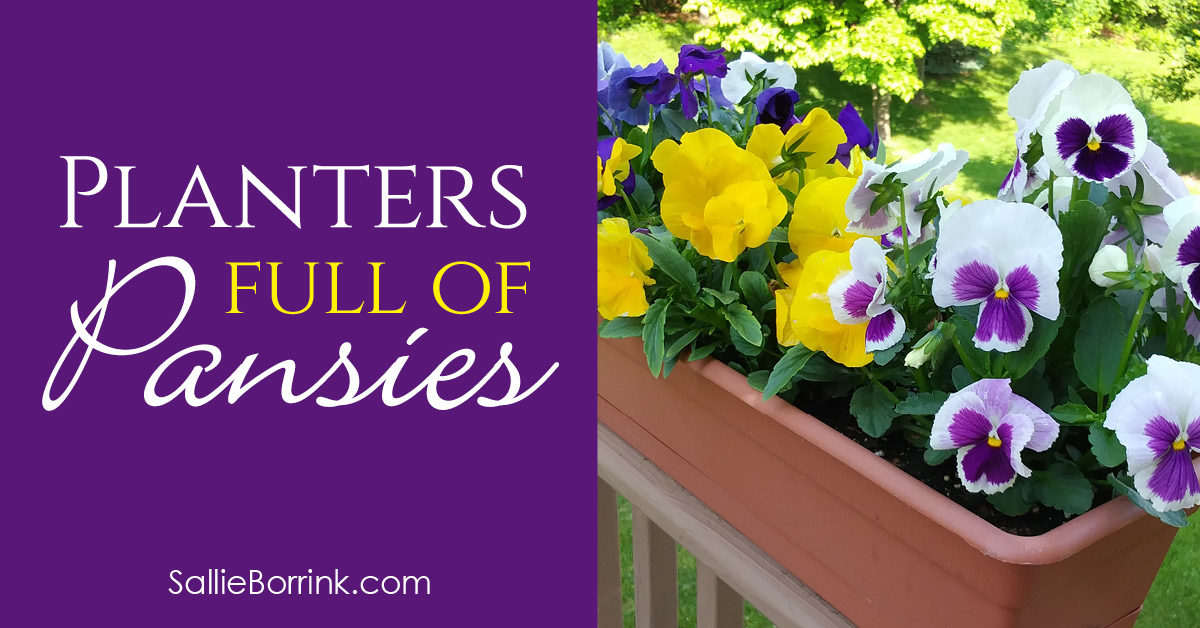 How to Grow Pansies and Have Planters Full of Pansies