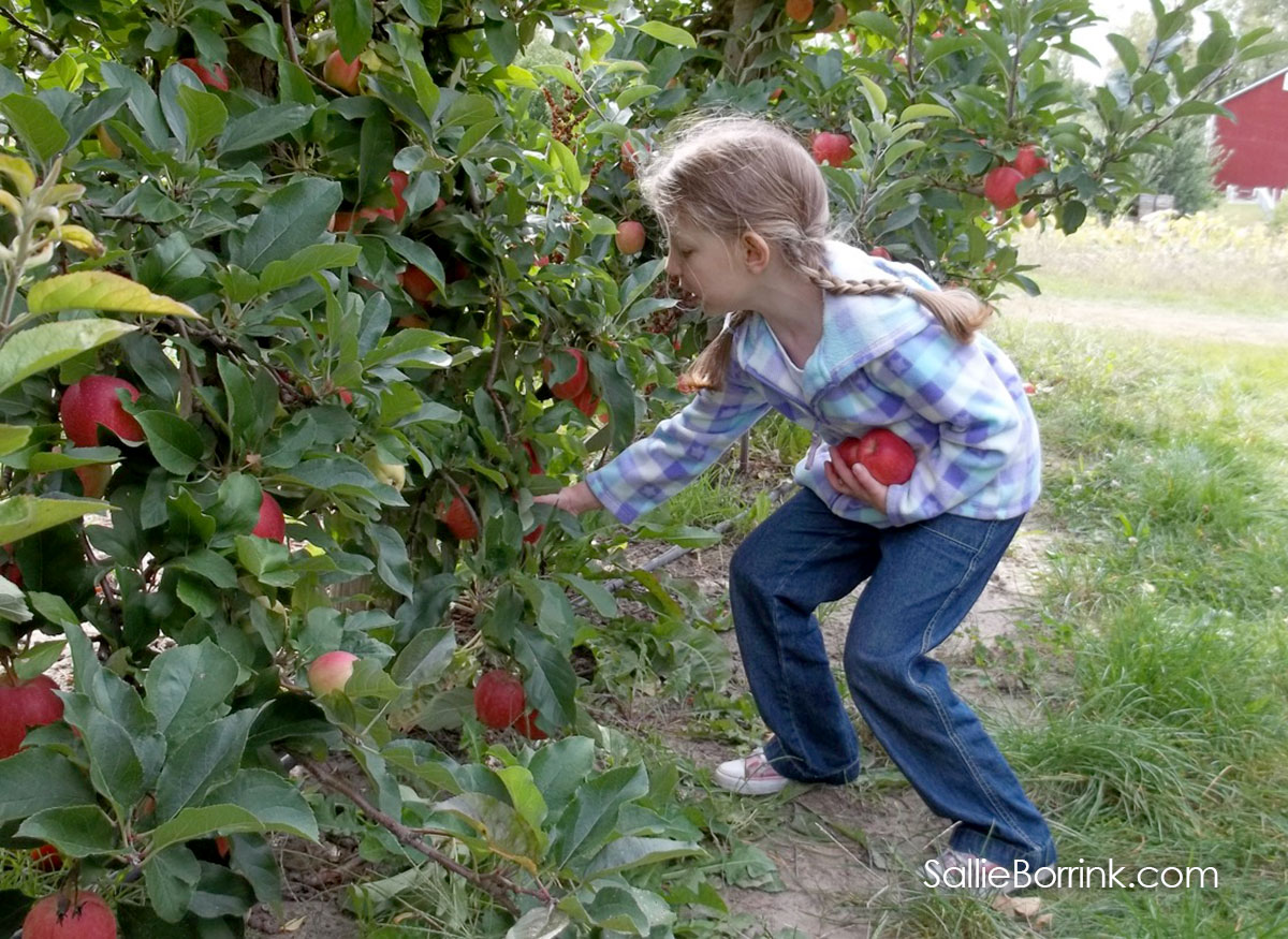 Picking Apples at an Apple Orchard Field Trip
