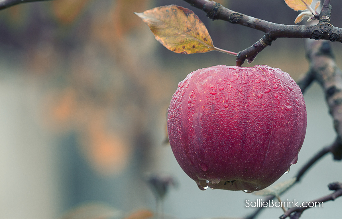 Fall Apple on Branch
