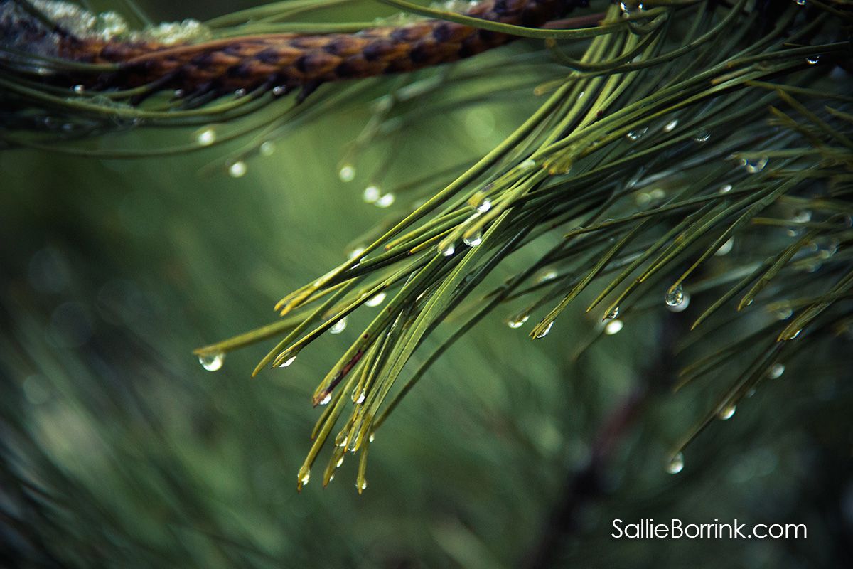 Water drops on pine branches