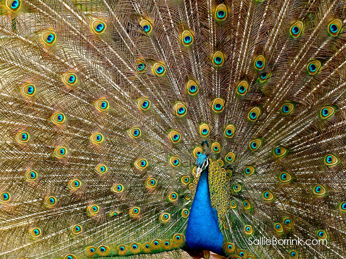100 Ways to Add Joy to Your Life - Peacock