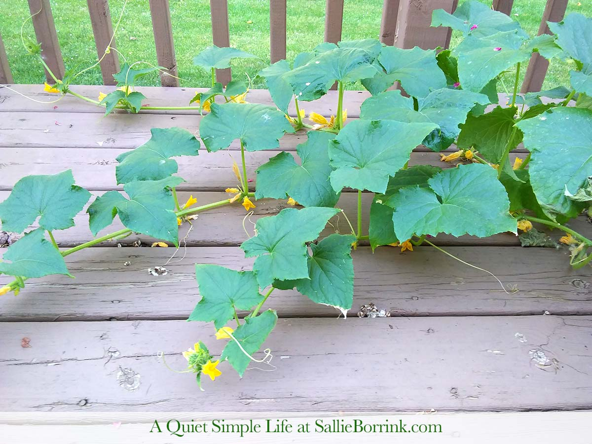 Growing Cucumbers in Pot on the Deck